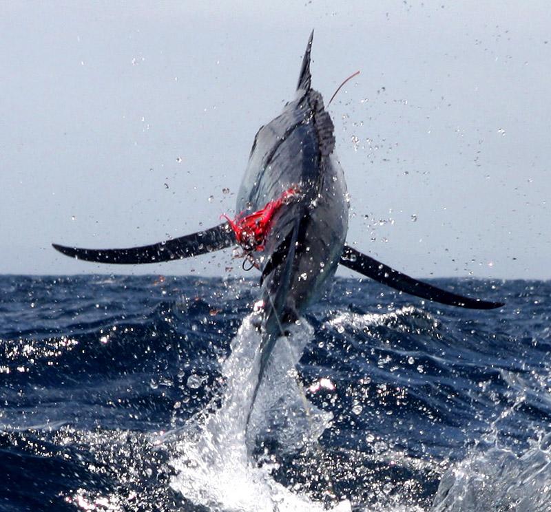Marlin hookup