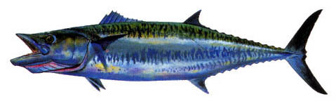 0104_Mackerel