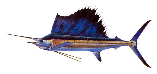 0104_Sailfish