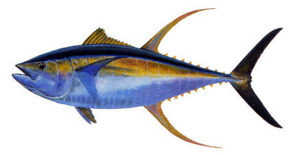 0104_Yellowfin